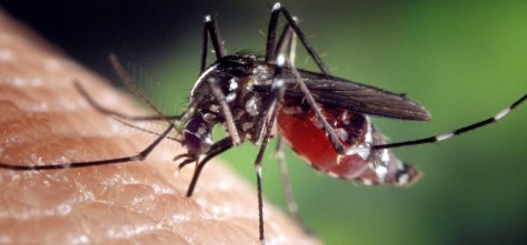 Aedes albopictus mosquito genus of the culicine family of mosqui